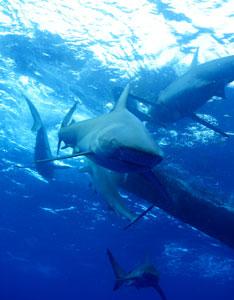 Galapagos Sharks - Hawaii